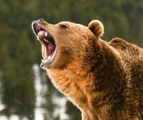 Niedźwiedź w czasie ryku