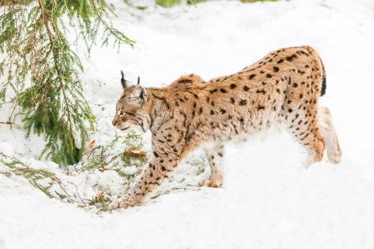 Rysie to piękne drapieżne koty. Dzięki projektom odnowy tego gatunku możemy być pewni, że nie zniknie z mapy Polskich drapieżników.