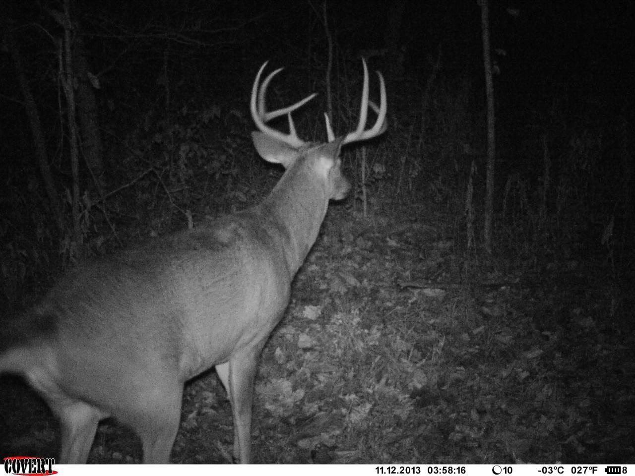 Nocna przechadzka jelenia
