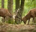 Dwa jelenie w leśnym łowisku