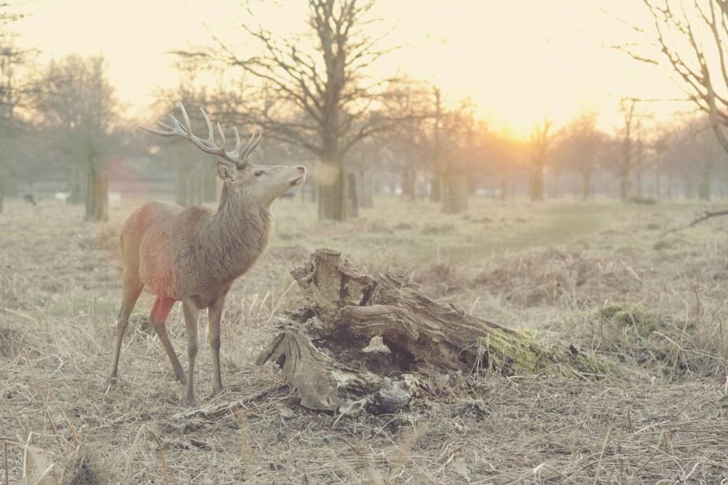 Jeleń szlachetny w okresie jesienno-zimowym