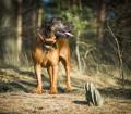 Pies tropiciel - pokokowiec bawarski