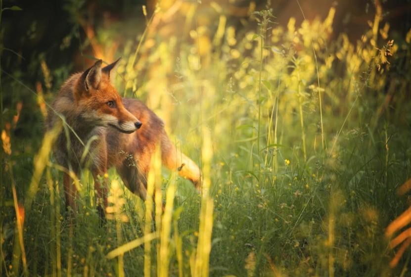 Przed polowaniem na lisy powinniśmy złapać żonę za kolano :)
