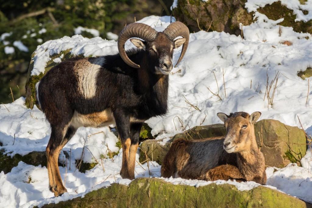 Baran i owca muflona