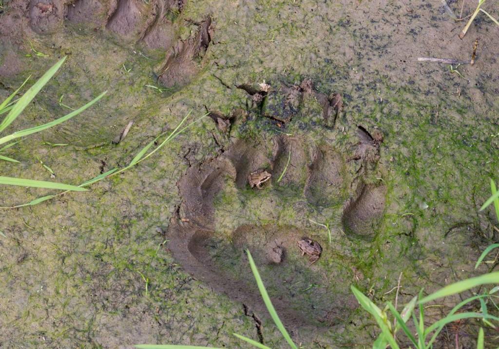Ślady pozostawione przez niedźwiedzia