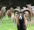 Stary tryk muflona i jego owce