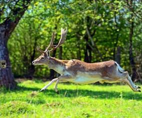 Fotopułapka na drzewie robiąca zdjęcie jeleniowi