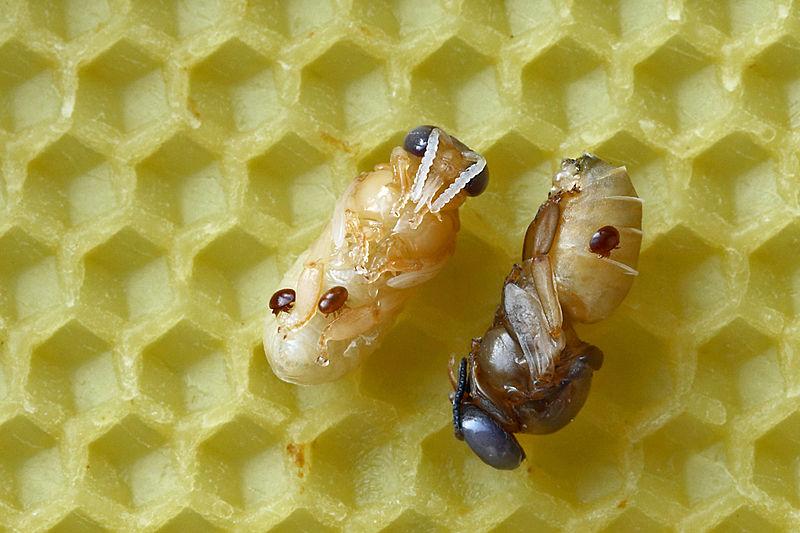 Warroza - pasożyt pszczół